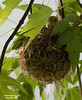 Female Oriole in her new nest.