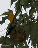 BALTIMORE ORIOLE AT NEST--FEMALE