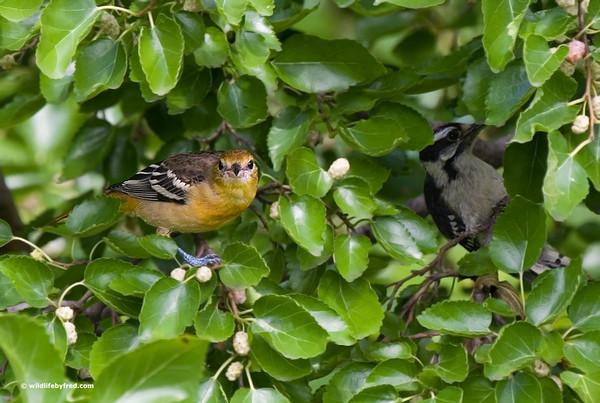 Baltimore Oriole (female) & Downy Woodpecker (male)