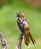 BALTIMORE ORIOLE--THIS ORIOLE JUST FINISHED TAKING A BATH AND IS ONE OF THE ROUGHEST LOOKING ORIOLES I HAVE EVER SEEN