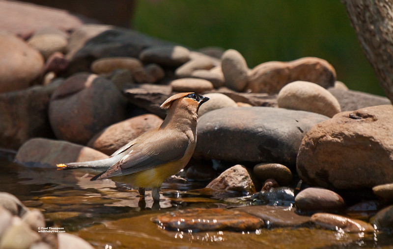CEDAR WAXWING GETTING READY TO TAKE  A BATH