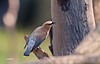 CEDAR WAXWING (YOUNG ADULT)