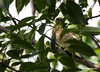 This is a juvenile Cedar Waxwing, the first of these I have ever photographed.
