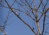I spent 3 hours waiting on these Waxwings to come closer but it got dark before they came any closer.