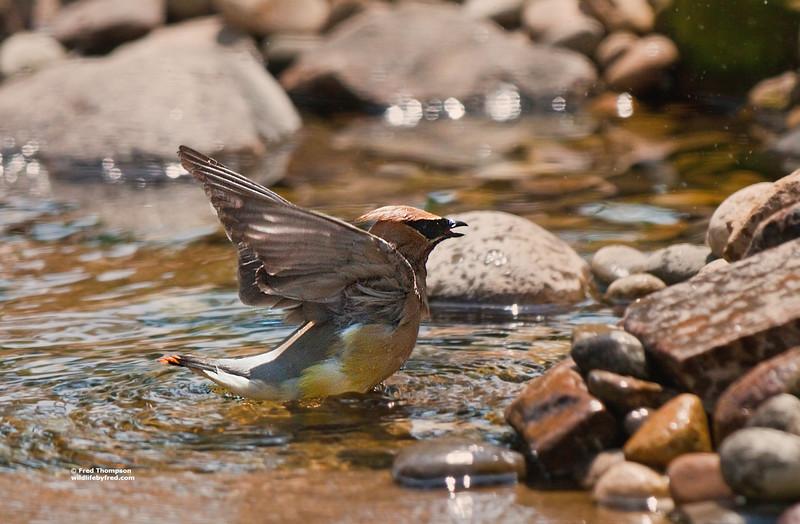 CEDAR WAXWING TAKING A BATH