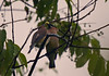CEDAR WAXWING FEEDING ANOTHER