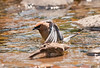 CEDAR WAXWING TAKING A BATH