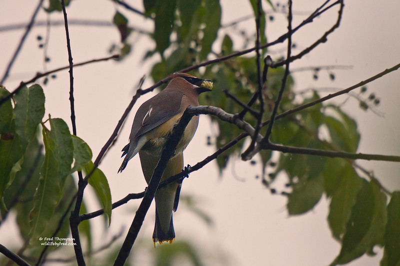 CEDAR WAXWING JUST GETTING A MULBERRY FROM ANOTHE WAXWING