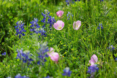 2019 Campus Bluebonnets_1673