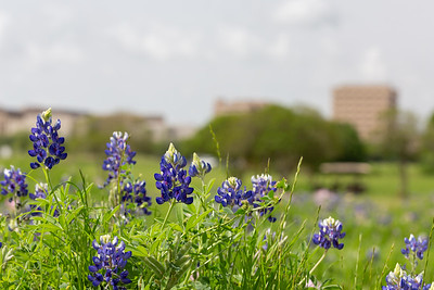 2019 Campus Bluebonnets_1642