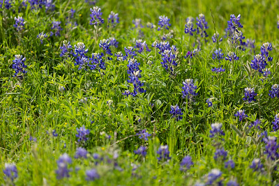2019 Campus Bluebonnets_1664