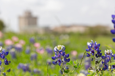 2019 Campus Bluebonnets_1634