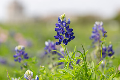 2019 Campus Bluebonnets_1629