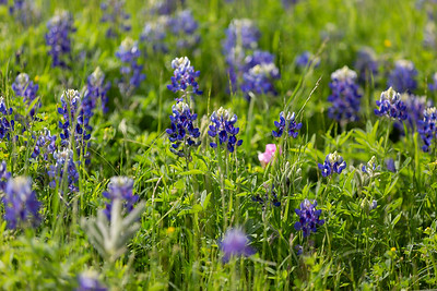 2019 Campus Bluebonnets_1656