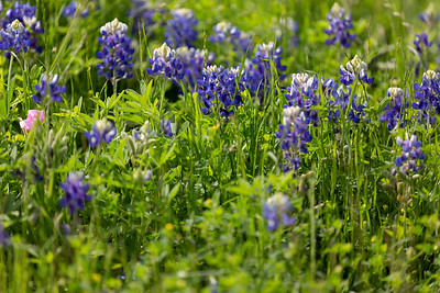 2019 Campus Bluebonnets_1662