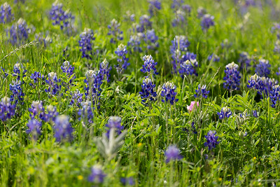 2019 Campus Bluebonnets_1659