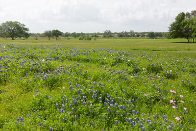 2019 Campus Bluebonnets_1623