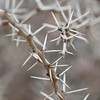 Close-up of thorns on a spiked plant, San Miguel de Allende, Guanajuato, Mexico