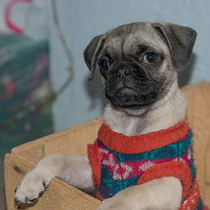 Close-up of pug dog wearing sweater, San Miguel de Allende, Guanajuato, Mexico