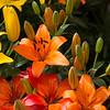 Close-up of tiger lily flowers Juarez Park, Zona Centro, San Miguel de Allende, Guanajuato, Mexico