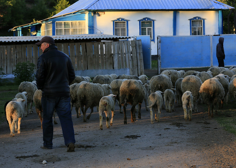 Herding his sheep to pasture at base of mountain