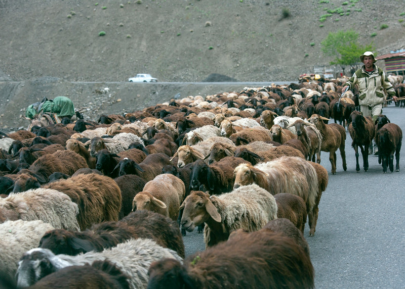 Vehicles share the road with sheep