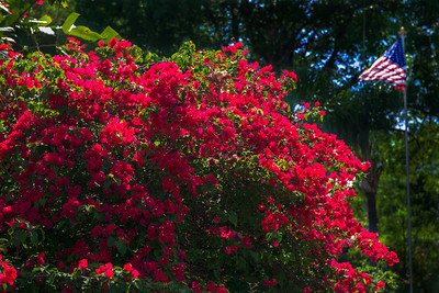 "ETC-3333  ""Bougainvillea and the Flag"""