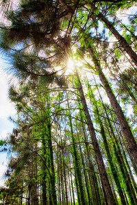 "ETC-3076  ""Sunlight Through Tree Tops"""