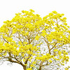 "ETC-3093  ""Yellow Tabebuia Tree"""
