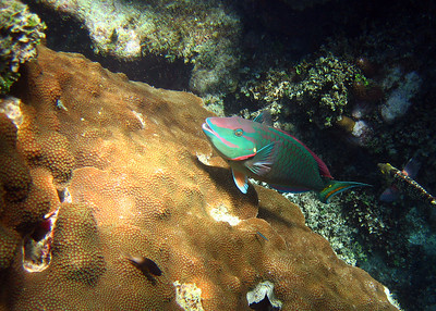 PARROTFISH - LAUGHING BIRD CAYE