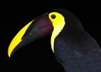 CHESTNUT MANDIBLED TOUCAN - MANUEL ANTONIO PARK