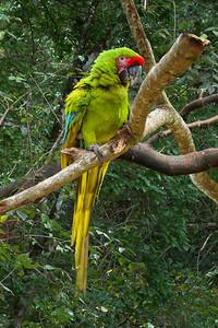 GREAT GREEN MACAW - OSA PENINSULA