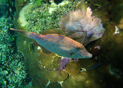SCRAWLED FILEFISH - ROATAN
