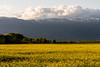 Sunset and Colza field near P+R Bernex in Confignon