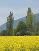 Colza Field 08_DSC2346 (2005-05-01)