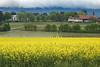 Colza Field 03_DSC2413 (2005-05-05)