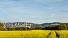 Colza Field & Salève