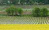 Colza Field 04_DSC2421 (2005-05-05)