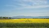 Colza Field 13_DSC2372 (2005-05-01)