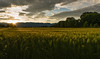 Sunset looking over wheat field near Chemin Machéry (Chemin des Crêts-de-Pregny)