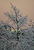 Snowy Tree 02_DSC1627 (2007-01-24)