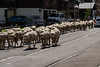 Sheep returning from alpine pastures
