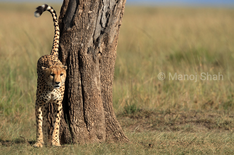 Cheeetah scent marking