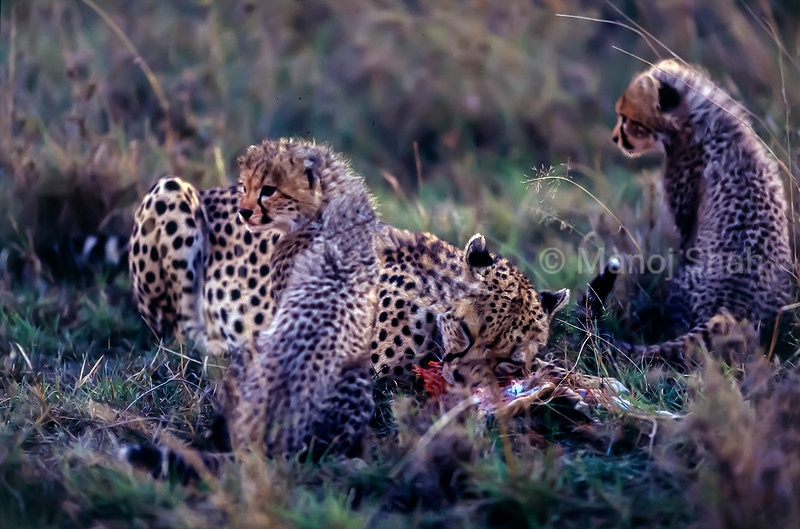Cheetah mother et the kill with her cubs in Masai Mara