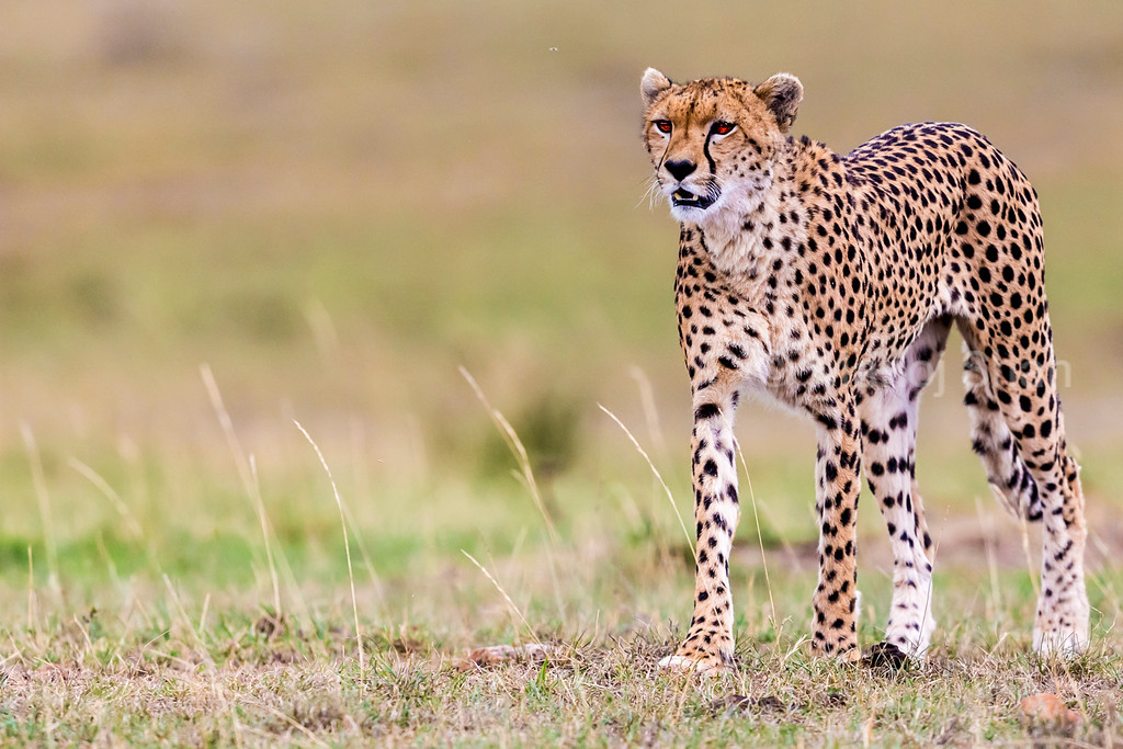 Cheetah on the lookout for prey