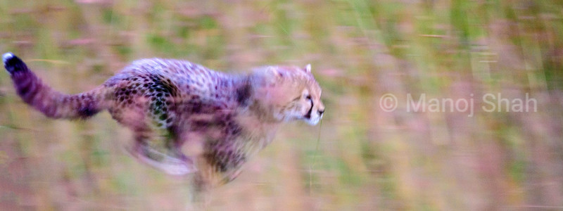 Cheetah cub on the run in Masai Mara.