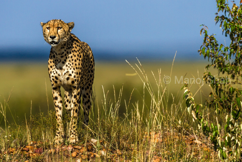 Cheetah on the look out for prey animals.