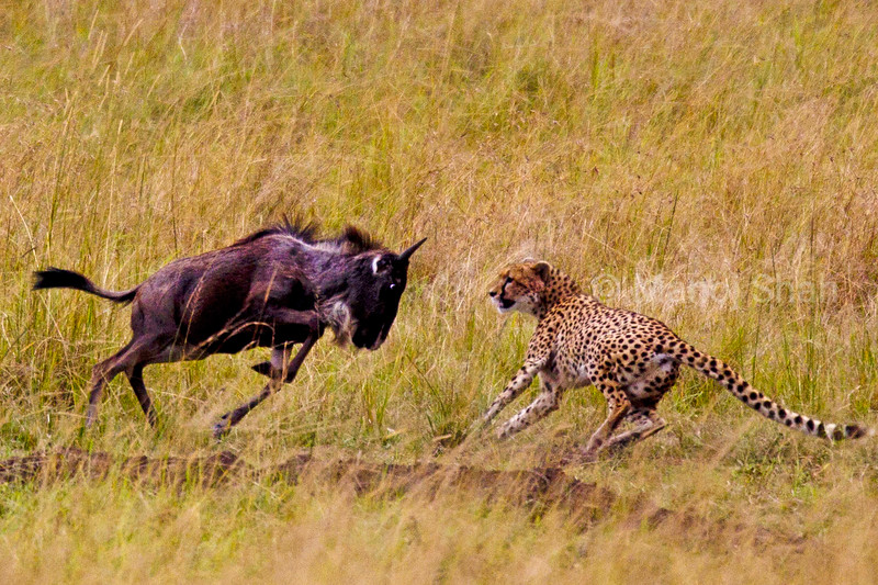 Cheetah attacking Wildebeest
