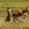 The hartebeest is heavy and strong and it canot be brought down by the cat. Now the cheetah has no choice but to let go.