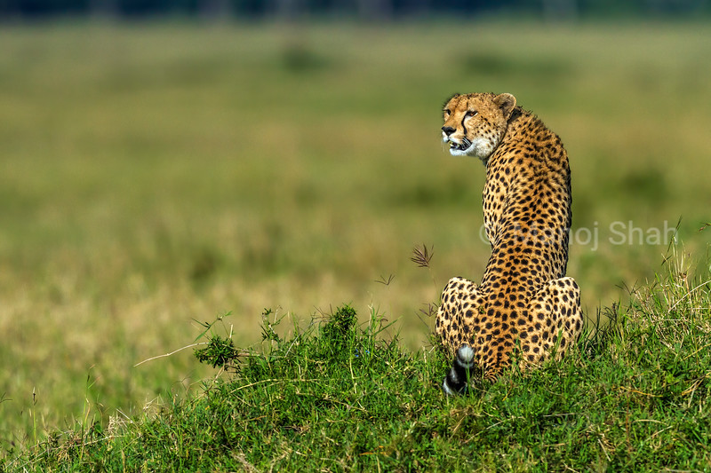 Cheetah looking for prey from top of an ant hill in Masai Mara.